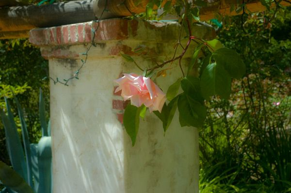 Pink Rose - Descanso Gardens 2010