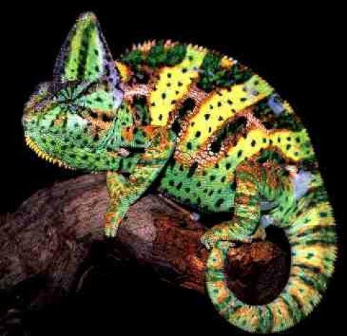jemen kameleon kleurrijke foto 's beeld