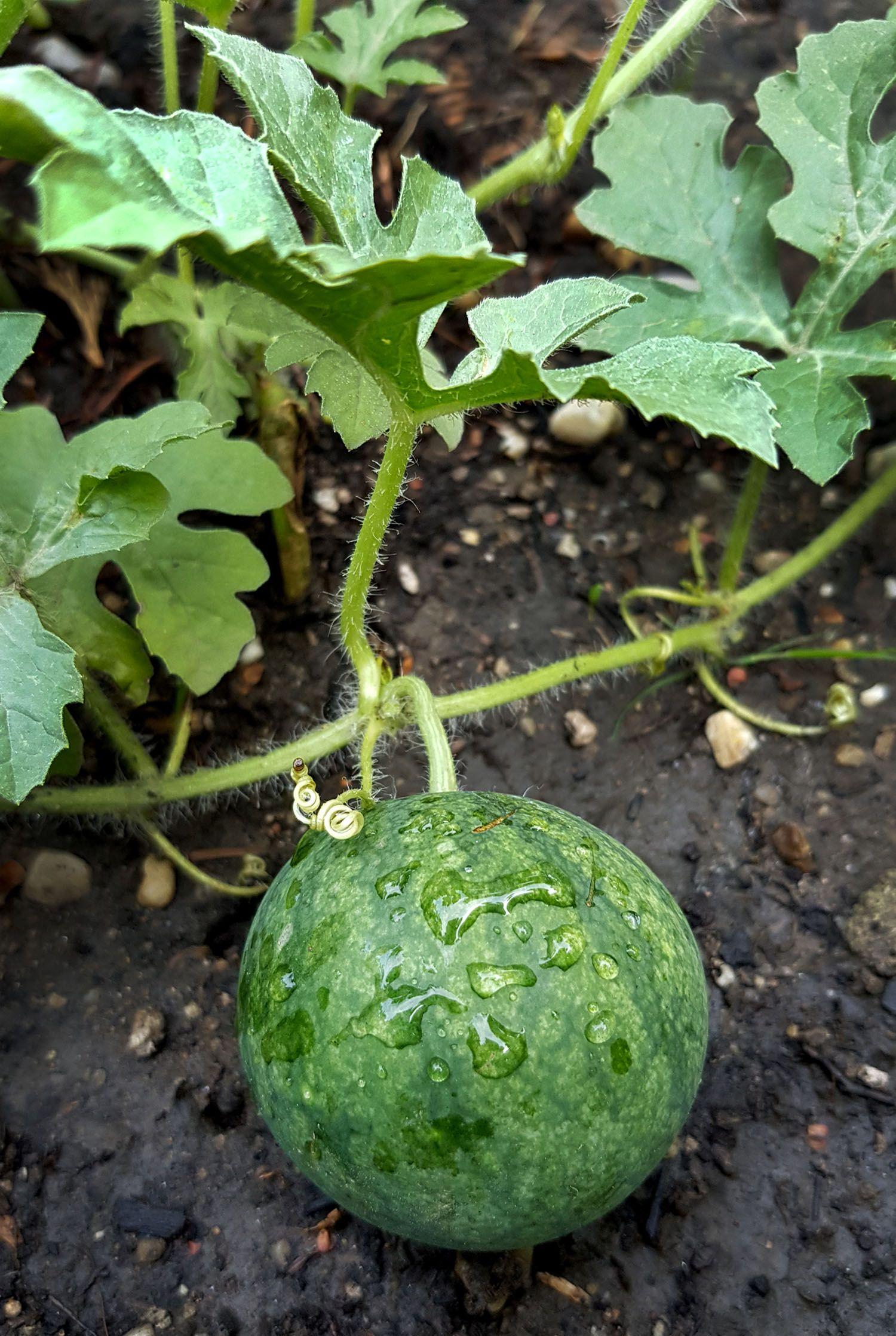 Melone Anbauen Vorziehen Pflanzen Pflegen Und Ernten Gruneliebe Melonen Anbauen Melonen Pflanzen Wassermelone Pflanzen