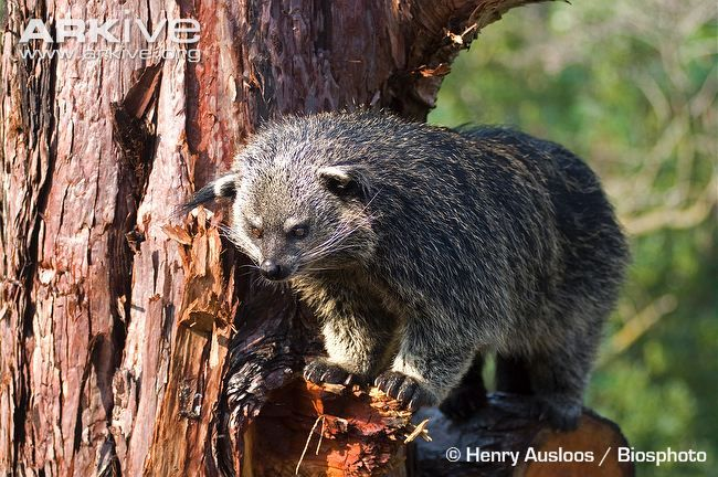 The Binturong Or Bearcat Is From South South East Asia It Is