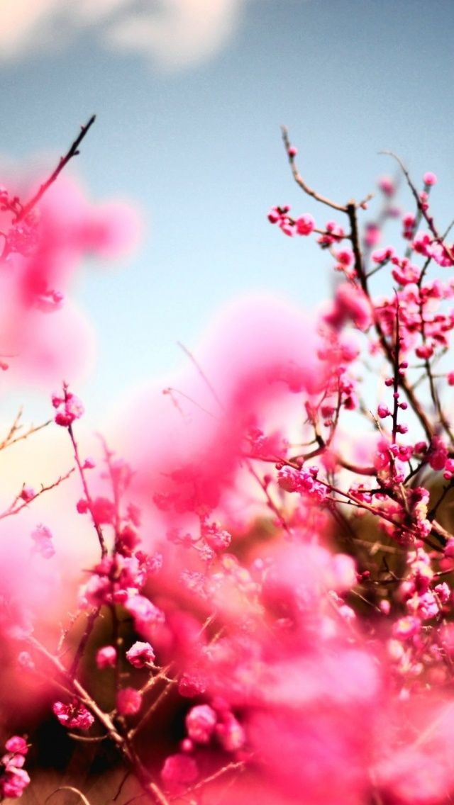 Cherry Blossoms Mobile Wallpaper Mobiles Wall Cherry Blossom Wallpaper Blossom Trees Cherry Blossom Tree