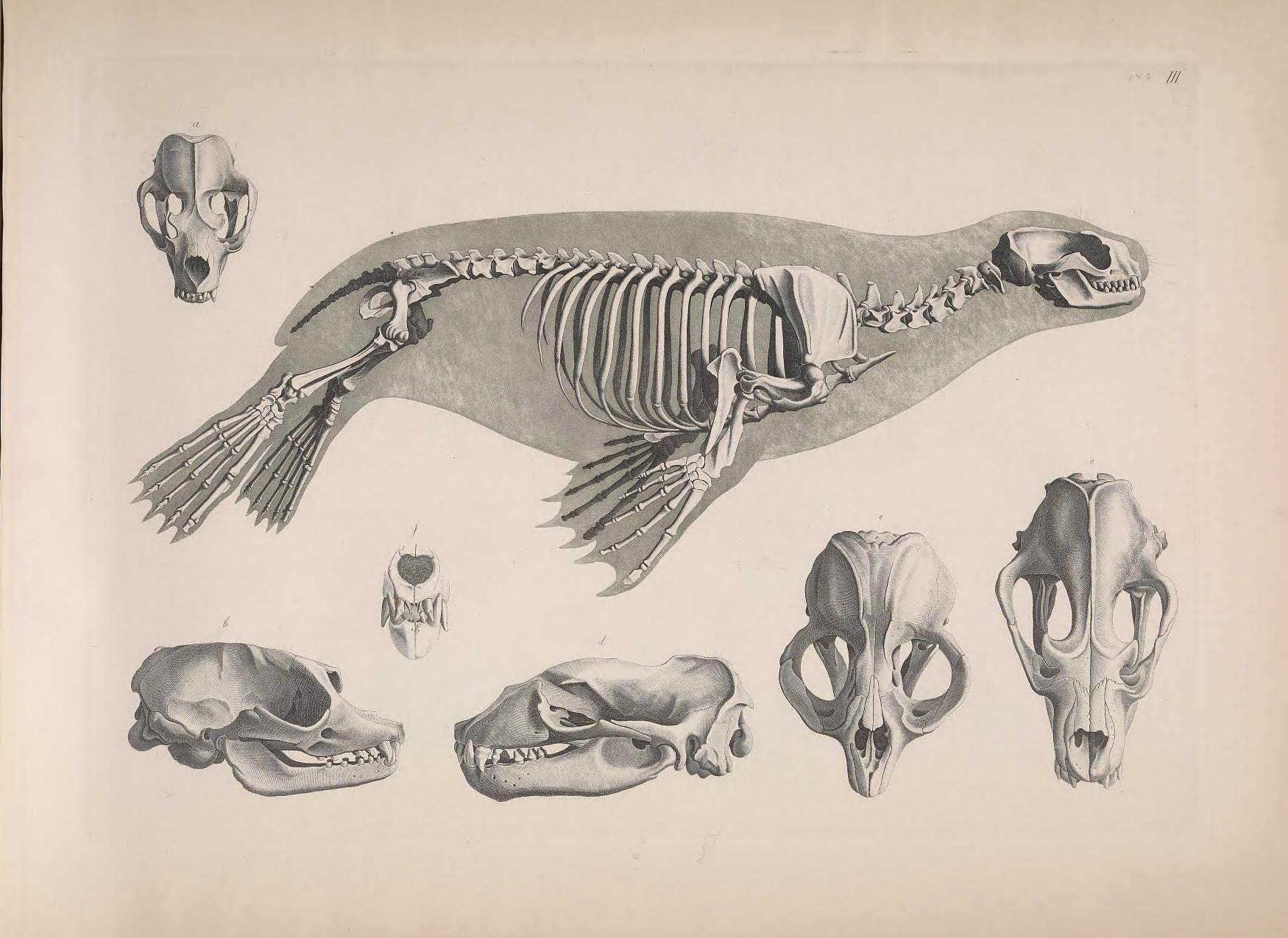 South American sea lion / skeleton Carnivora Otariidae Otaria ...