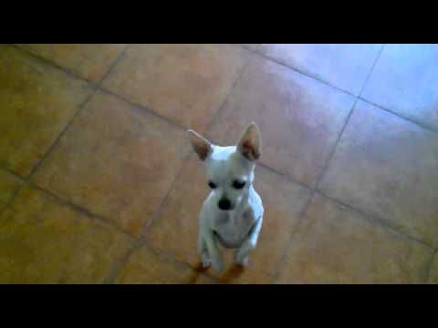 Funniest Animal Video Ever Chihuahua Dances Salsa Funny Animal