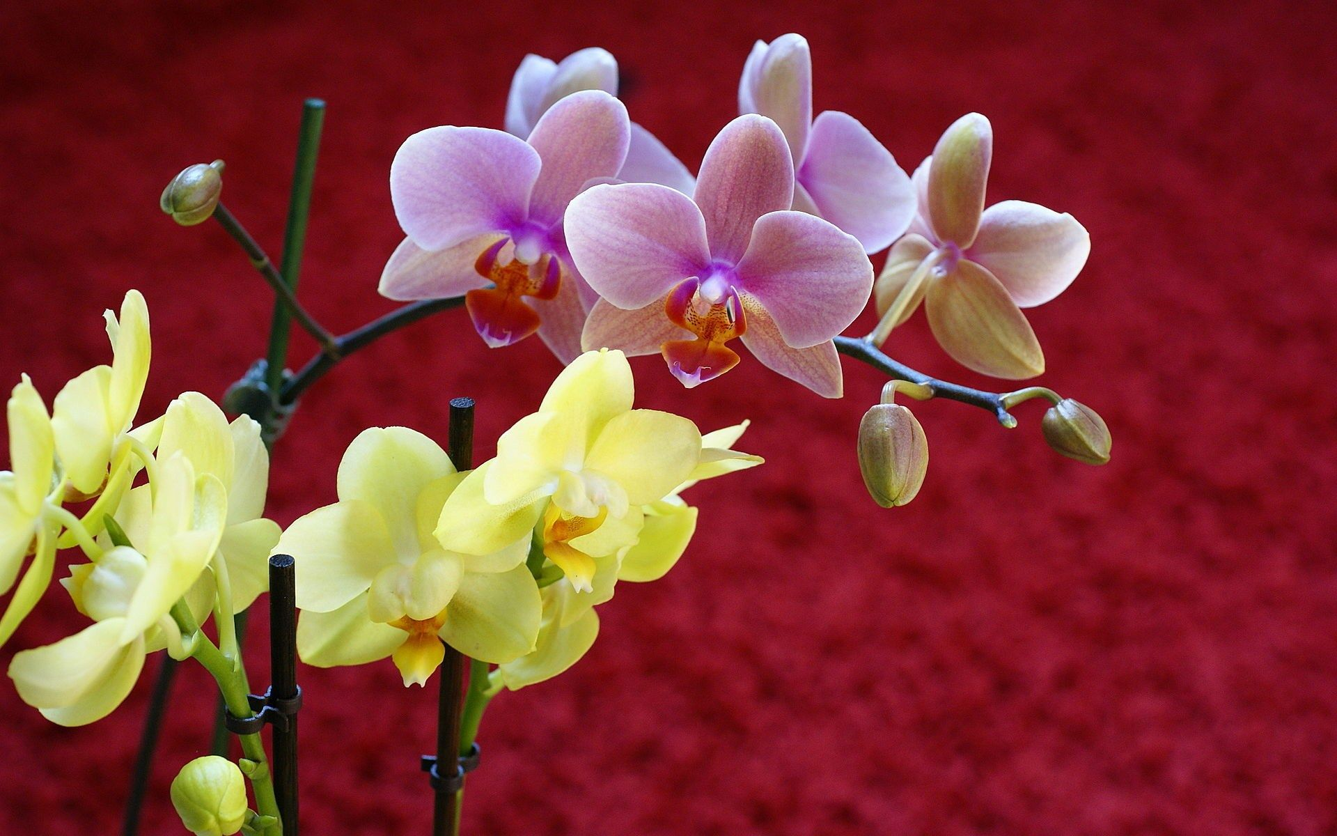 Pink flowers themed wynstan nashwilliams x ololoshka