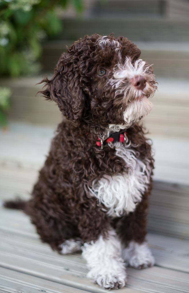 Tosca 10 Weeks Lagotto Romagnolo Puppy Dog Breeds Dogs