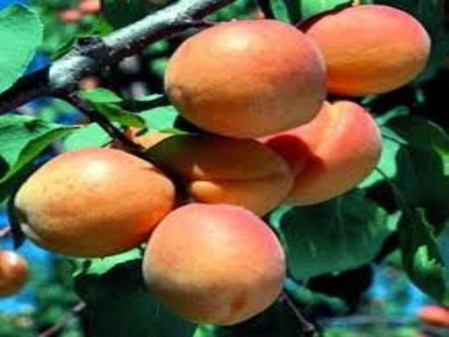 Tennessee Whole Tree Nursery Goldcot Apricot 16 99 Http Www Tnnursery