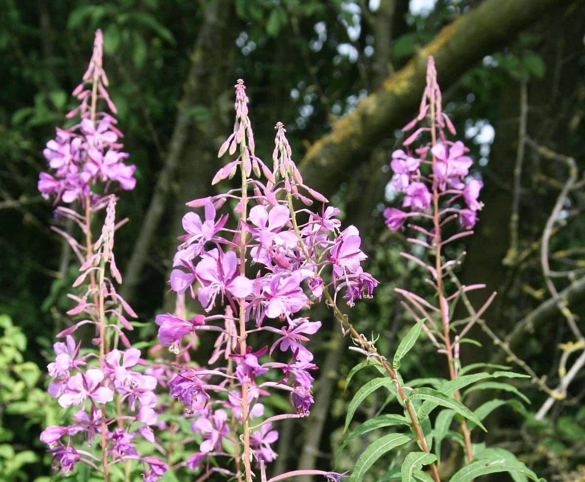 Schmalblattriges Weidenroschen Eine Heilpflanze Fur Den Mann Weidenroschen Heilpflanzen Pflanzen