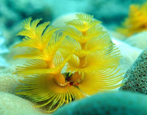 Christmas Tree Worm Ocean Creatures Underwater World Oceans Of The World