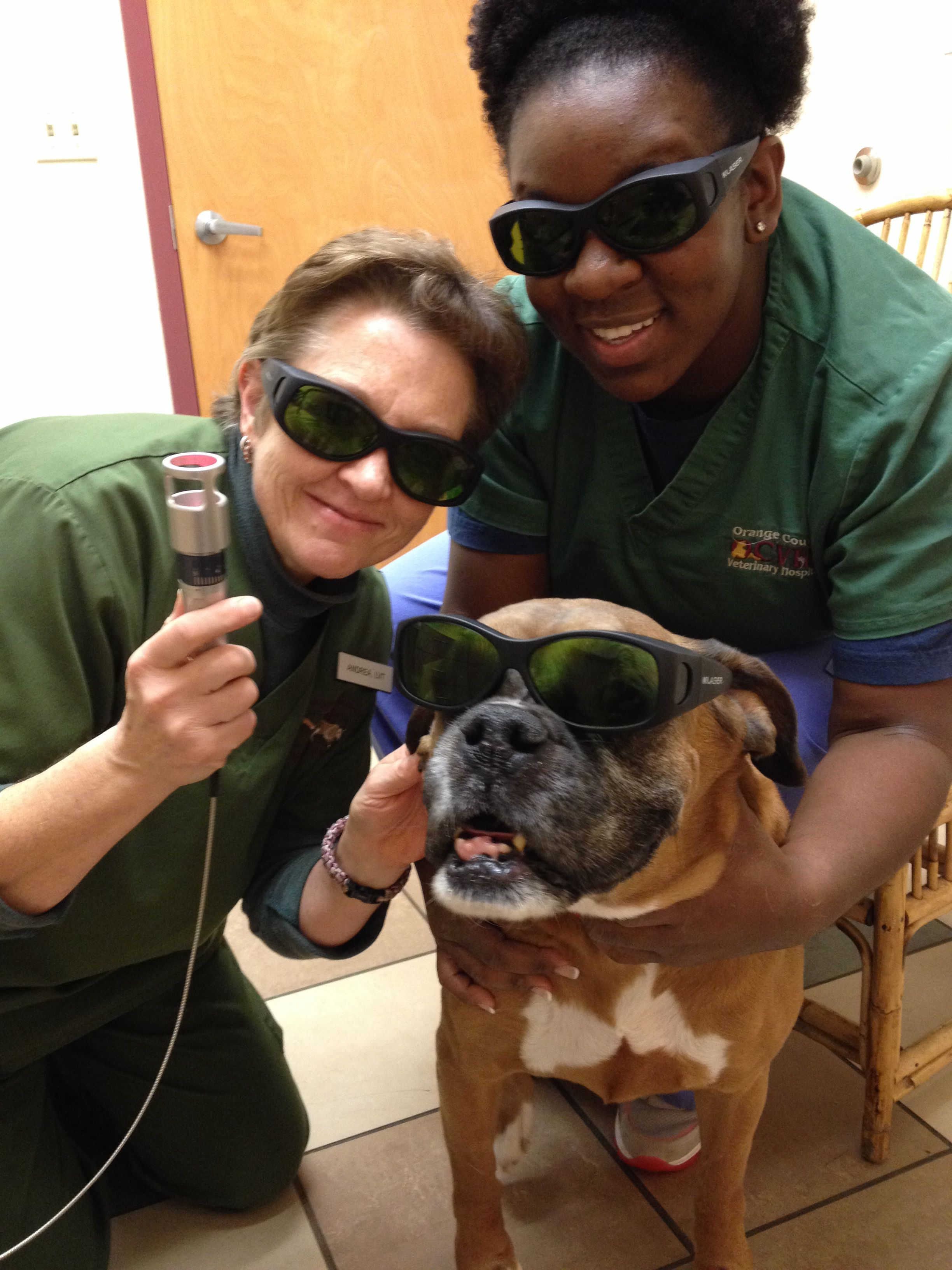 Hawk!! Getting ready for his post operative k-laser therapy treatment... Jessica & Andrea are his therapists!