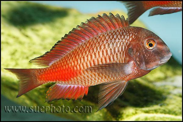 Tropheus Chipimbi African Cichlids Aquarium Fish Cichlids