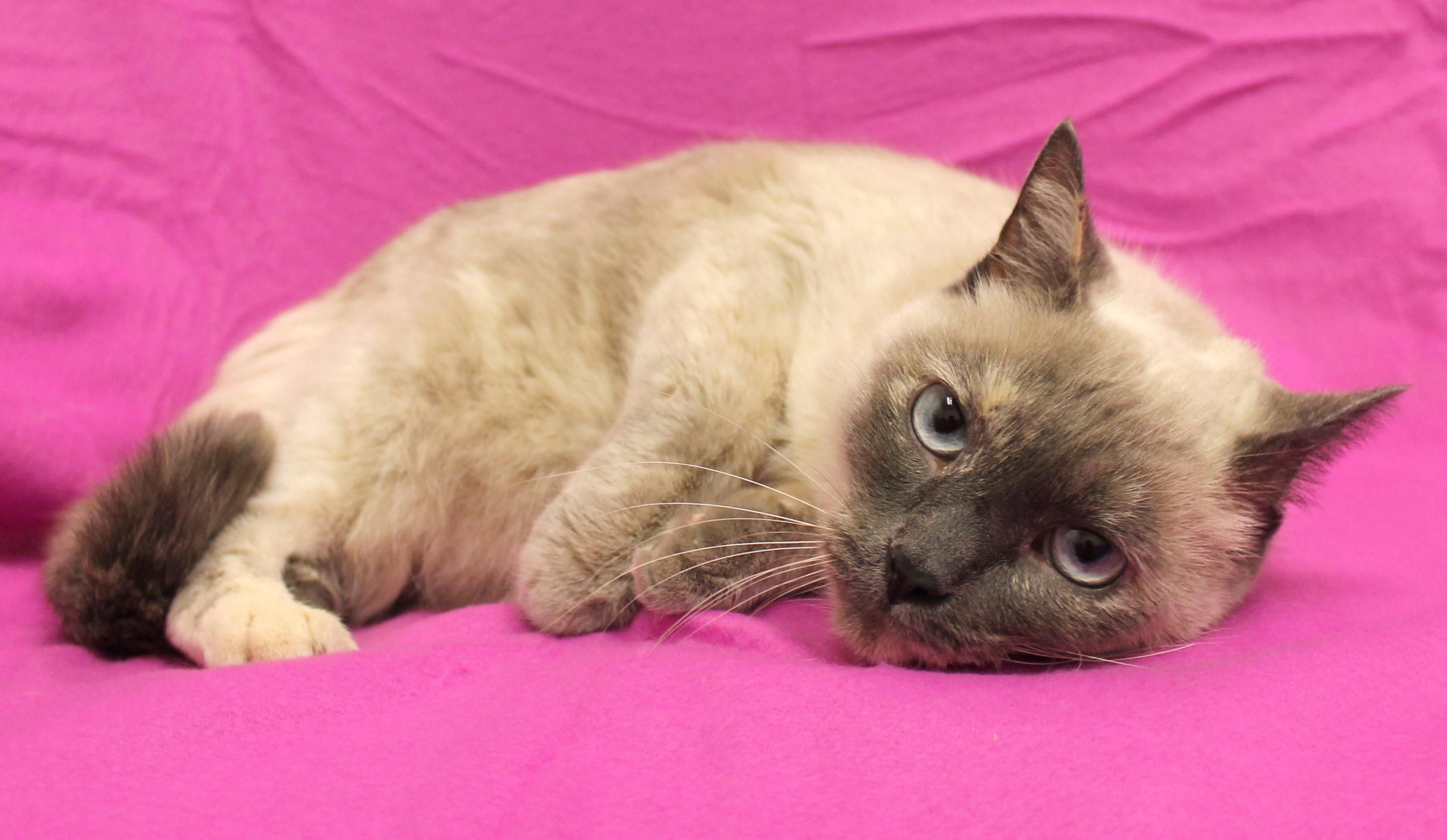 Adopt ms blue on ms blue kitty humane society