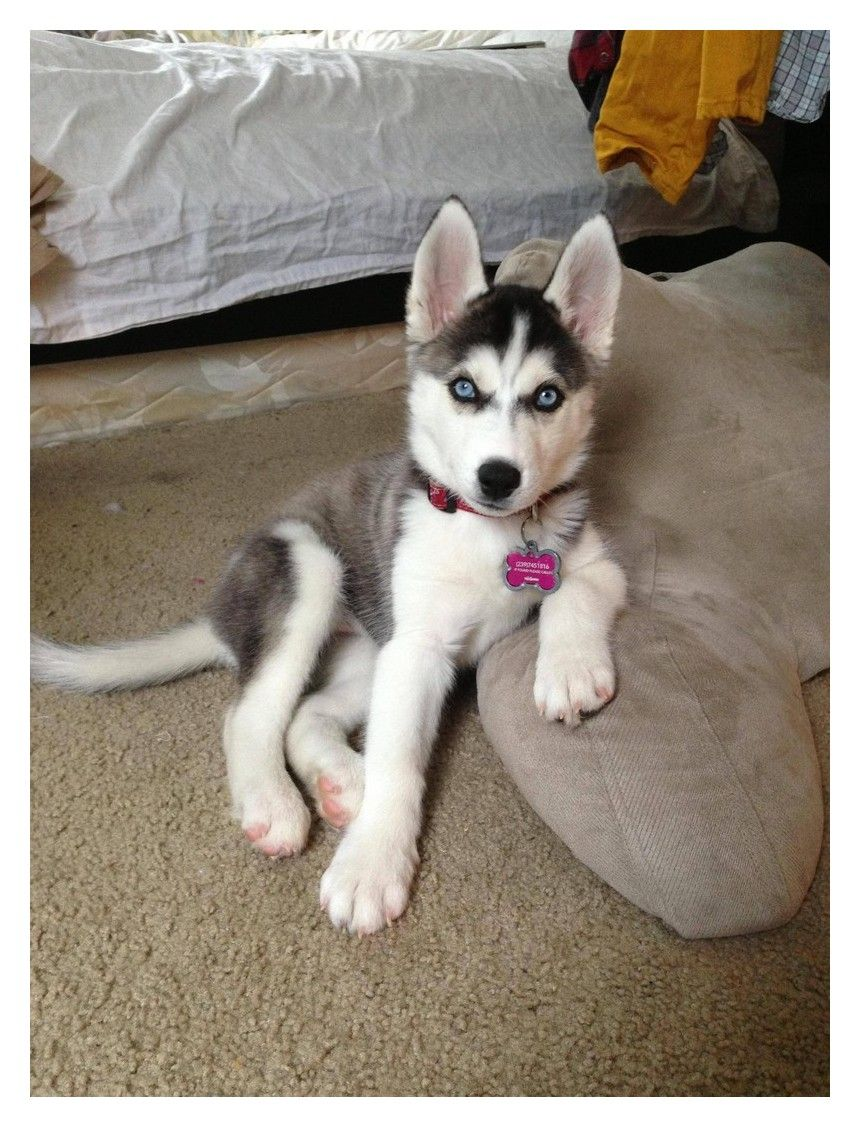 Read These Tips To Be The Best Dog Owner Possible Husky Puppy
