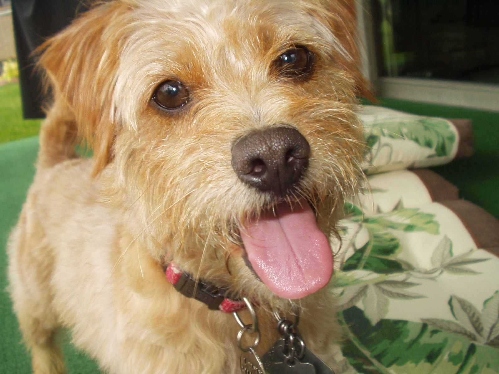 Bosco Poodle Terrier Mix Terrier Mix Dogs I Love Dogs