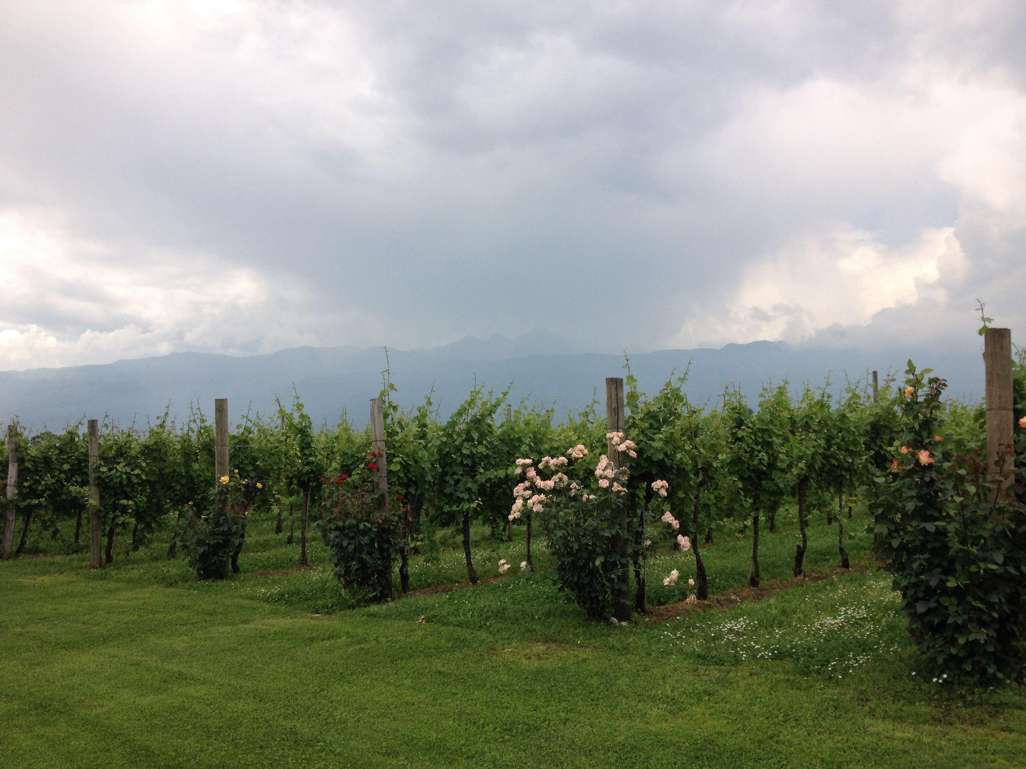 Wine Vineyard Near The Mountains In Aviano Italy Wine