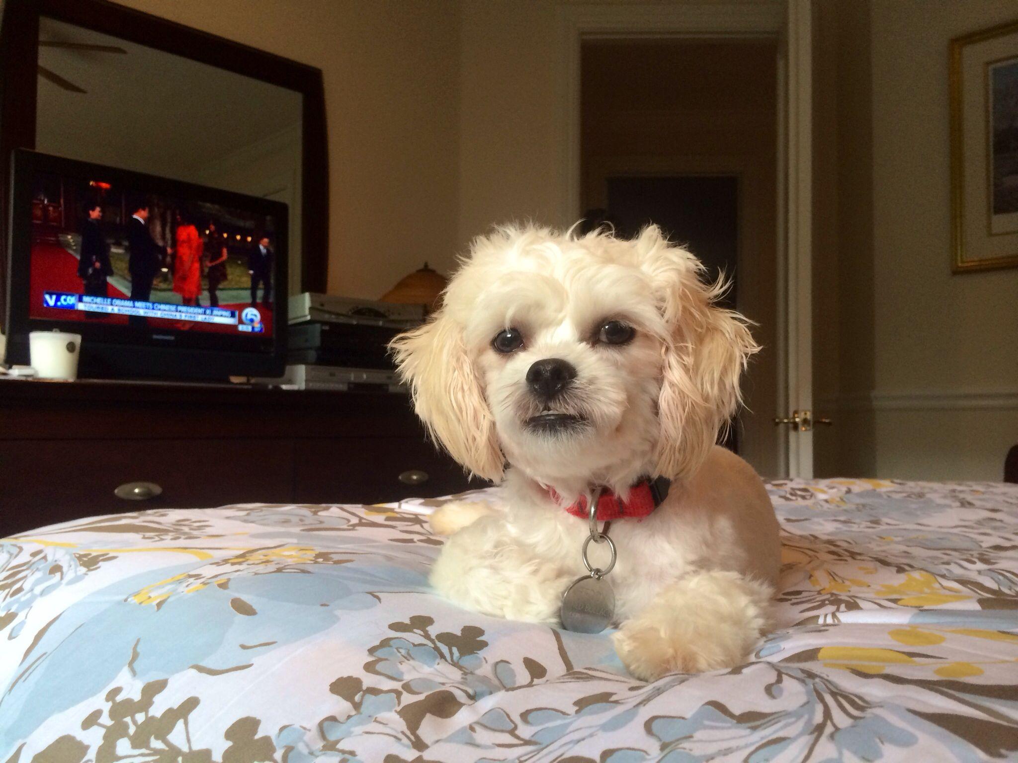Teddy A Bichon Shih Tzu Bichon Shih Tzu Mix Companion Dog