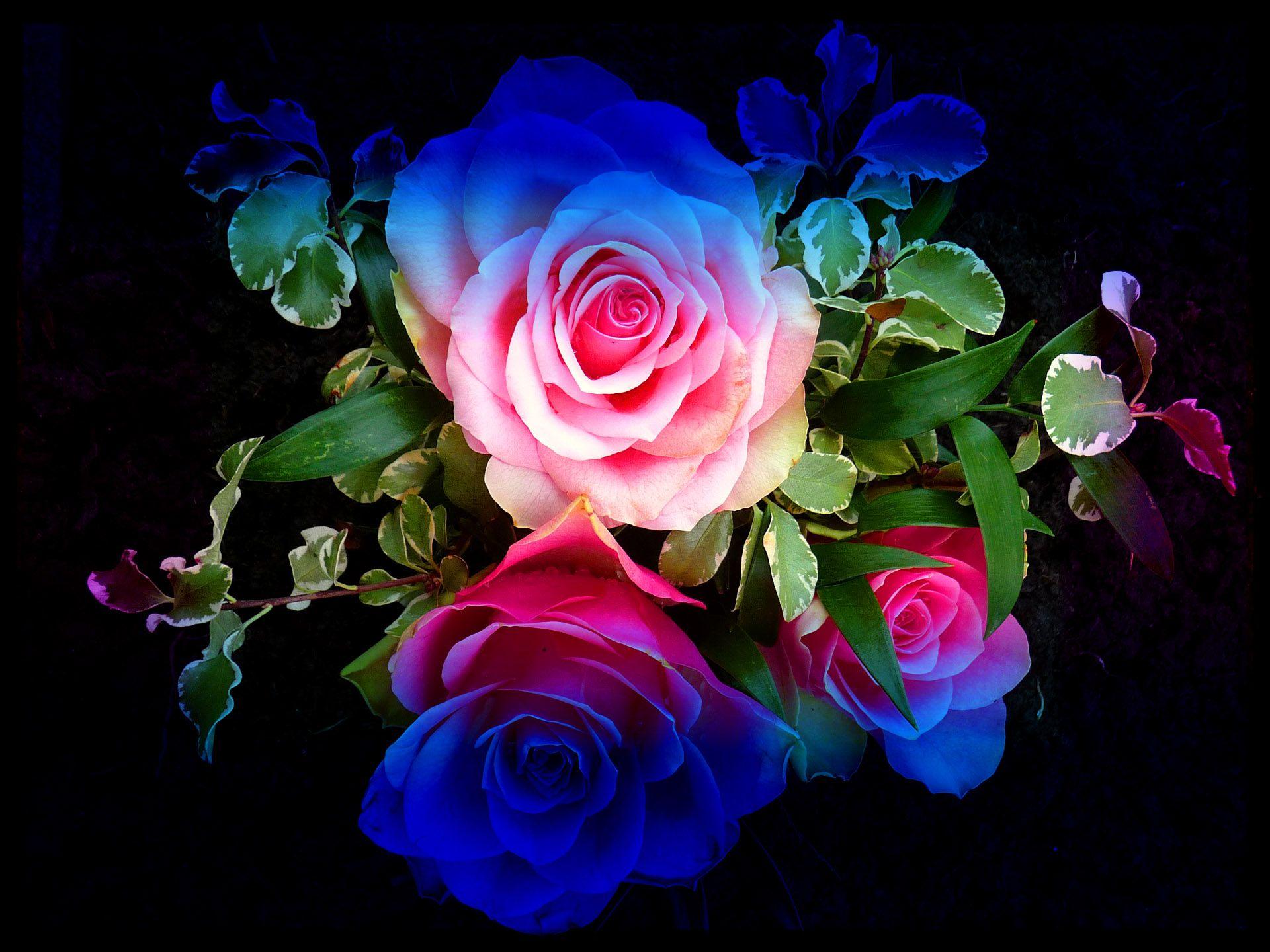 glitter roses backgrounds Wallpaper Colourful Roses