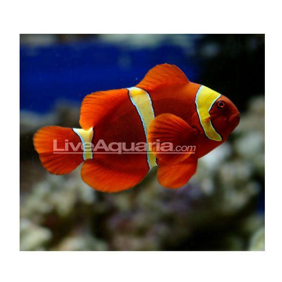 Maroon Gold Banded Clown Fish Clown Fish Saltwater Aquarium Fish Aquarium Fish