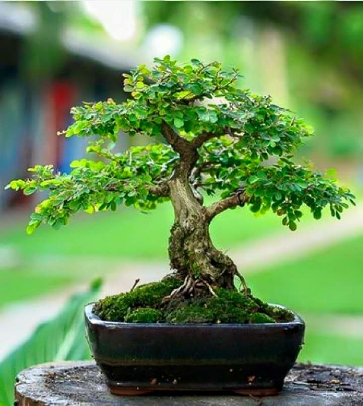 Coole Zimmerpflanzen pin rada auf бонсай asiatischer garten bonsai