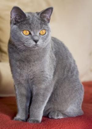 Katzenrassen Arkzv E V Katzenverein Bkh Katzen Britisch