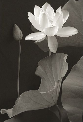 White Lotus Flower IMG_0286-bw