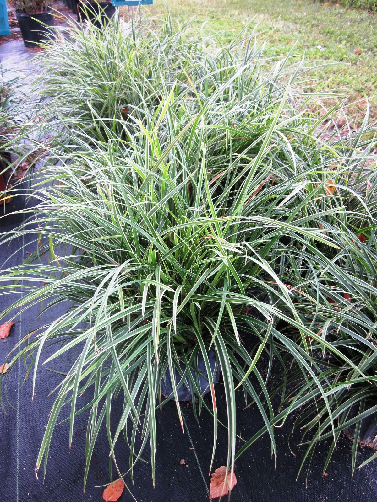 Picture of Live Variegated Mondo Grass aka Ophiopogon jap. 'Variegata' Plant Fit 1 Gallon Pot