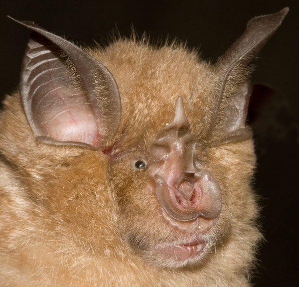 Image result for Horseshoe bats