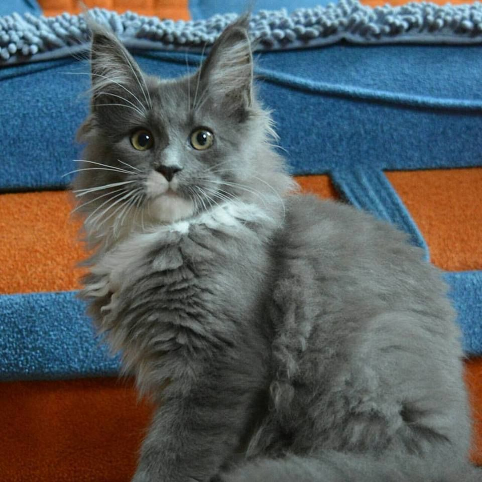 Pin by Emily Sneller on I Want all the Maine Coon Cats
