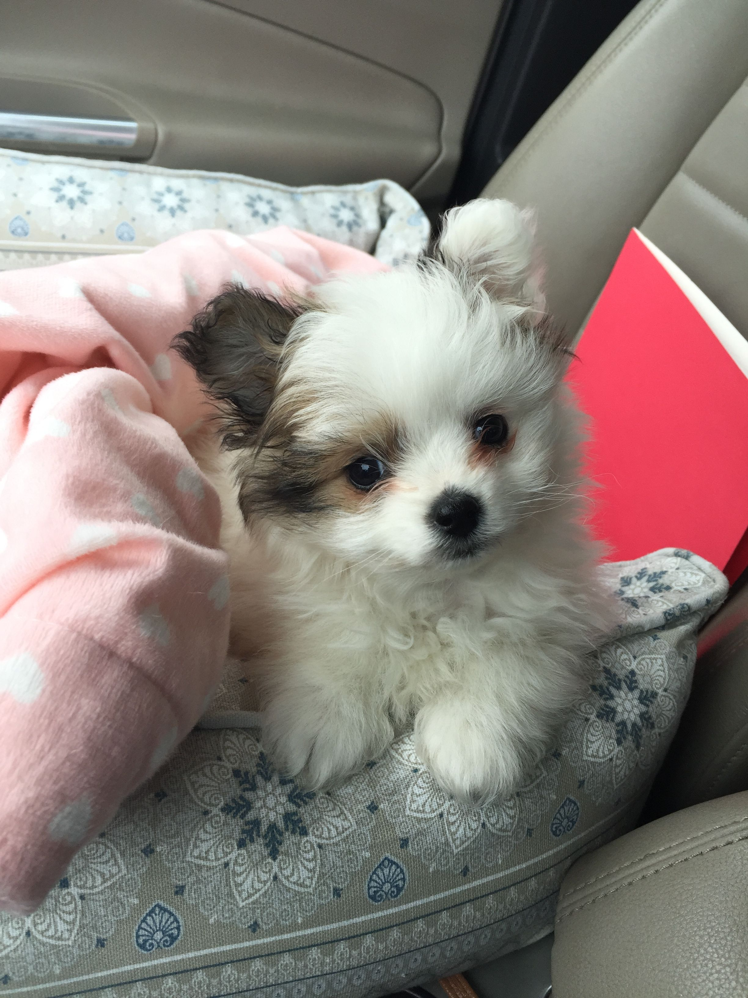 Our New Pomapoo 8 Weeks Old 3 Cute Animals Designer Dogs