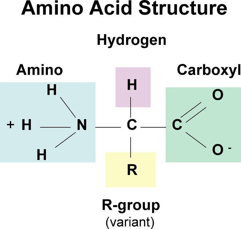 This Is The Structure Of An Amino Acid The Monomer That Makes Up