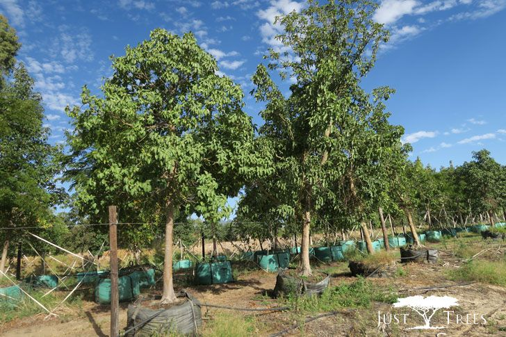 This Large Fast Growing Evergreen Is Indigenous To South Africa And Is Suitable For Large Estates A Fast Growing Evergreens Fast Growing Trees Outdoor Gardens