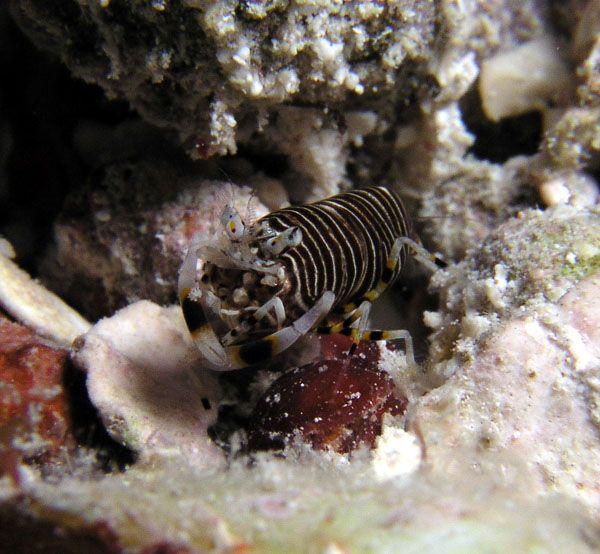 Rare Caribbean Shrimp Photo And Gallery Showcase Reef Tank Tank Girl Rare