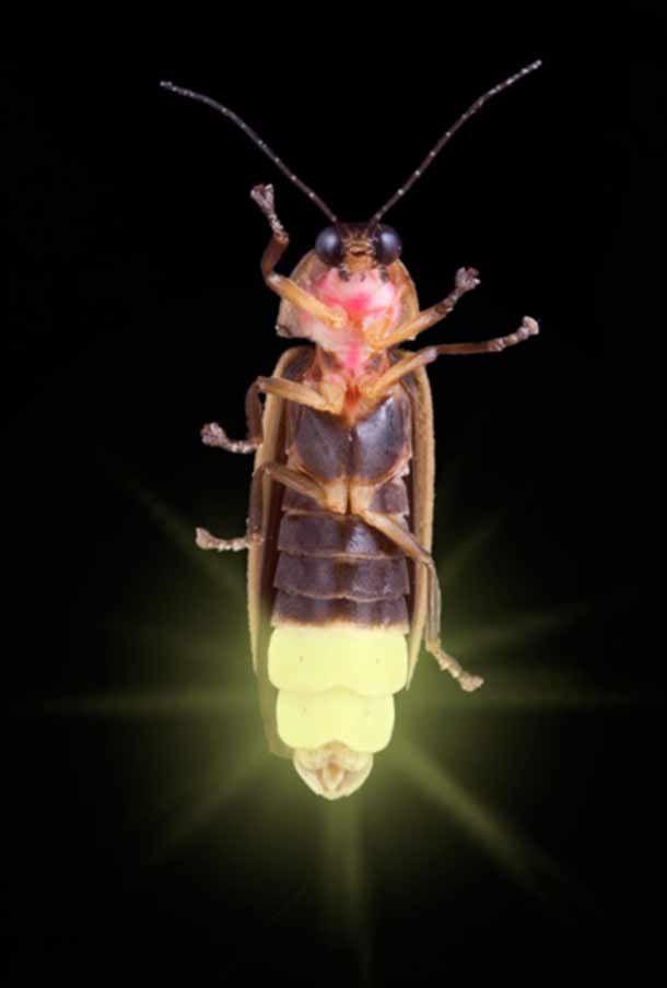 Las luciérnagas son insectos tan nobles y sensibles a la ...