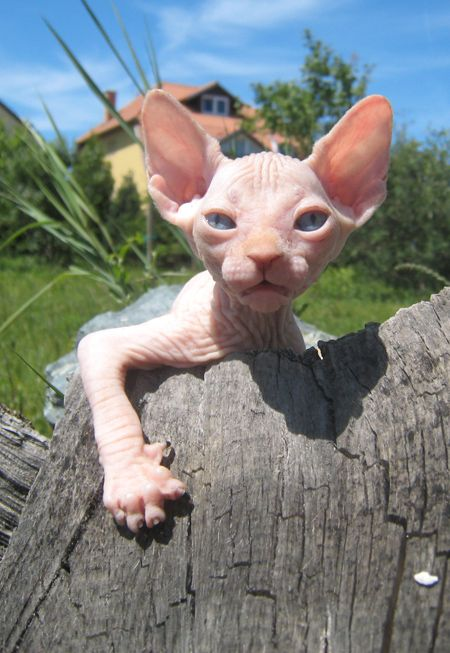 The Donskoy Cat Is A Breed Of Cat Known Also By Several Other Names Including The Don Sphinx Russian Donskoy Russian Hairle Hairless Cat Cat Breeds Cute Cats