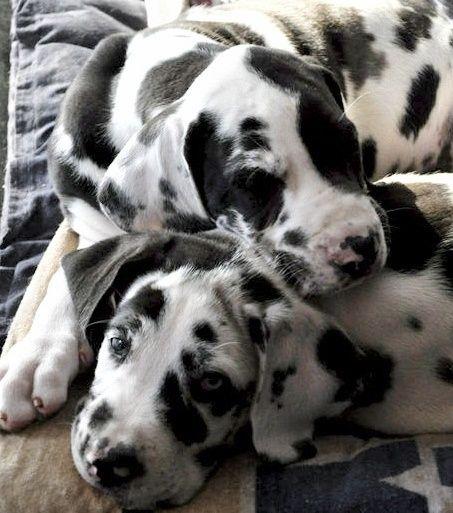 Adorable Great Dane Pups Dane Puppies Dane Dog Great Dane