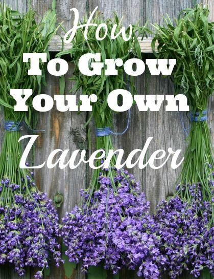 lavendel pflanzen balkon und gr nzeug pinterest lavendel pflanzen lavendel und pflanzen. Black Bedroom Furniture Sets. Home Design Ideas