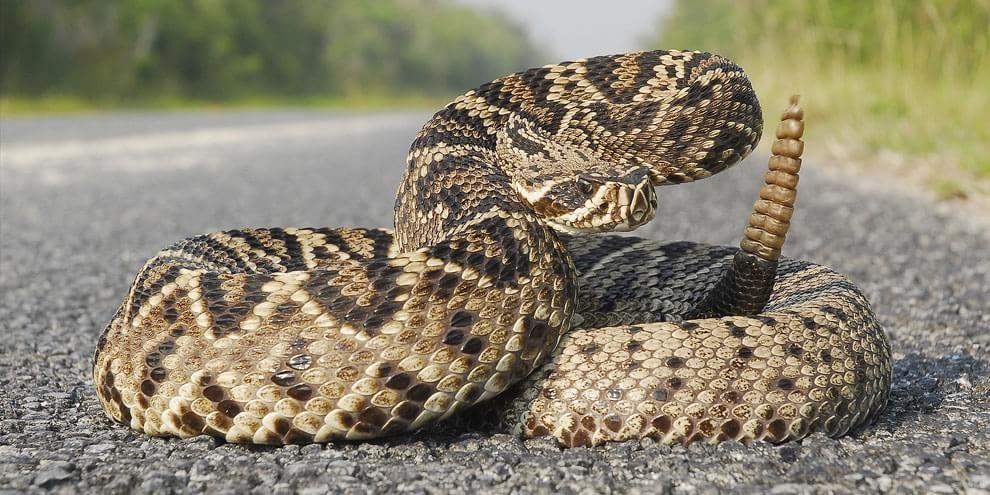 Tipos De Cobras As 10 Cobras Mais Venenosas Do Mundo Com Imagens