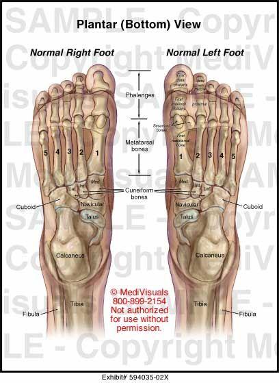 Foot Anatomy Bones Bottom View Fa12 Anatomy Pinterest