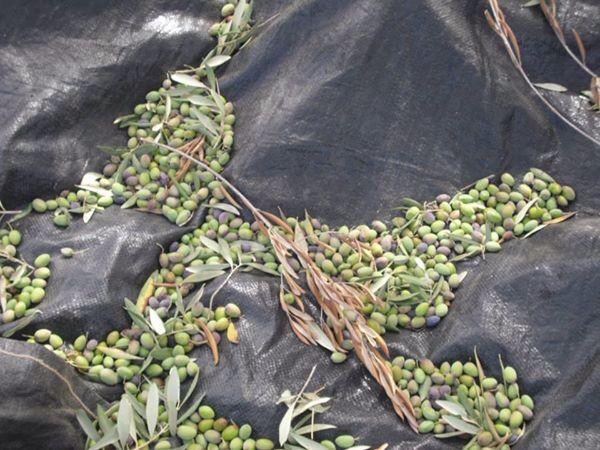 زيتونا Plants Palestine