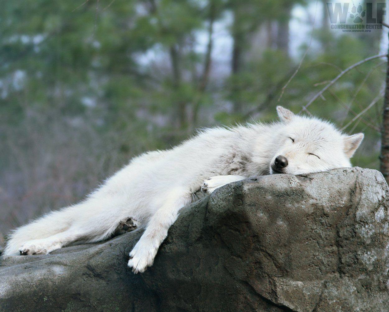 Pin By Nuba Kotze On Loups Sleeping Wolf Wolf Conservation Center Wolf Photos
