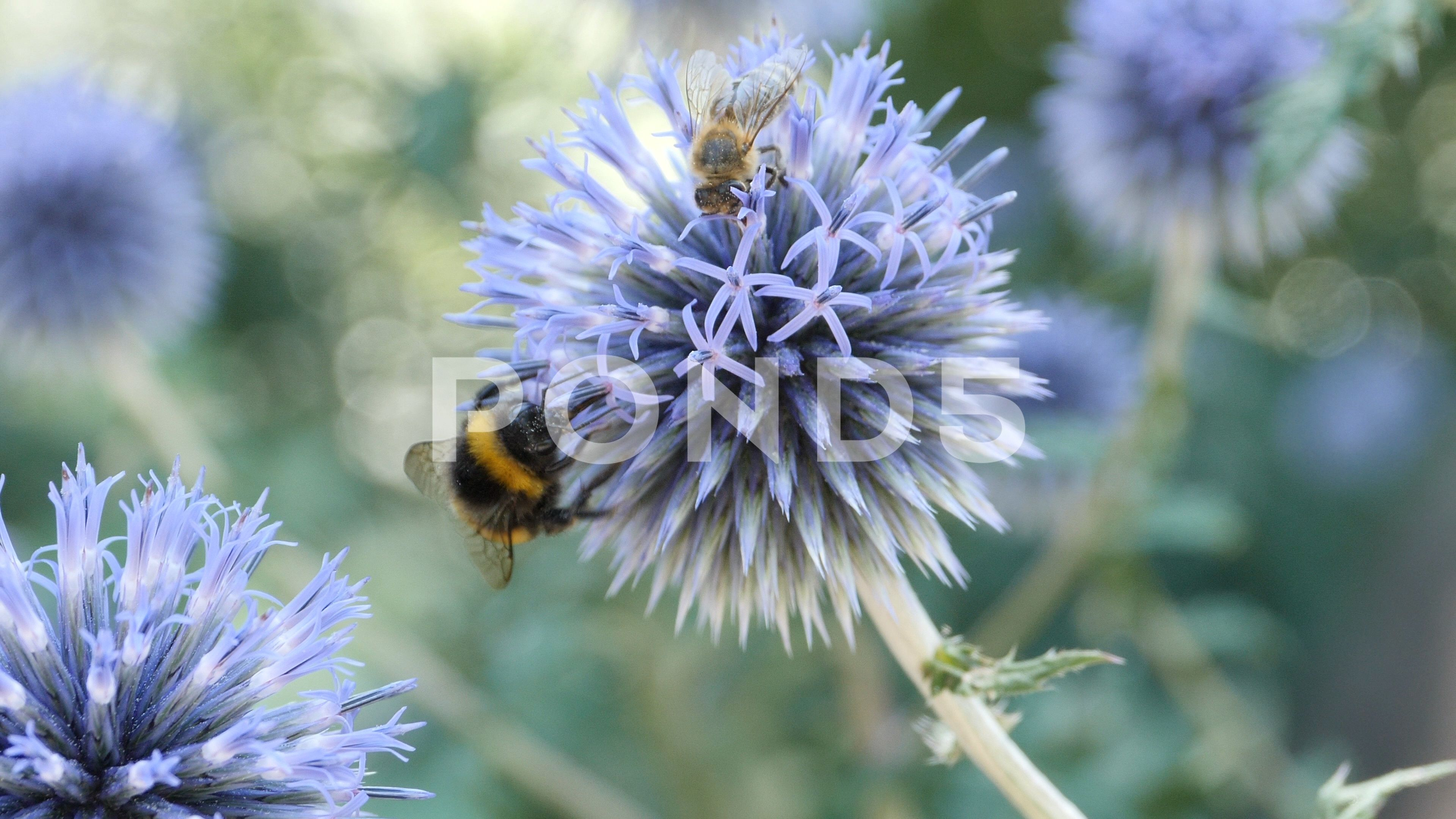 Macro Bumblebee On Thistle Chases Honey Bee Away 4k Stock