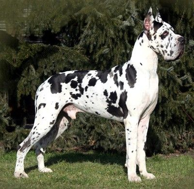 Great Dane I Like Big Dogs Pinterest Pin A Away Big Dogs Man S