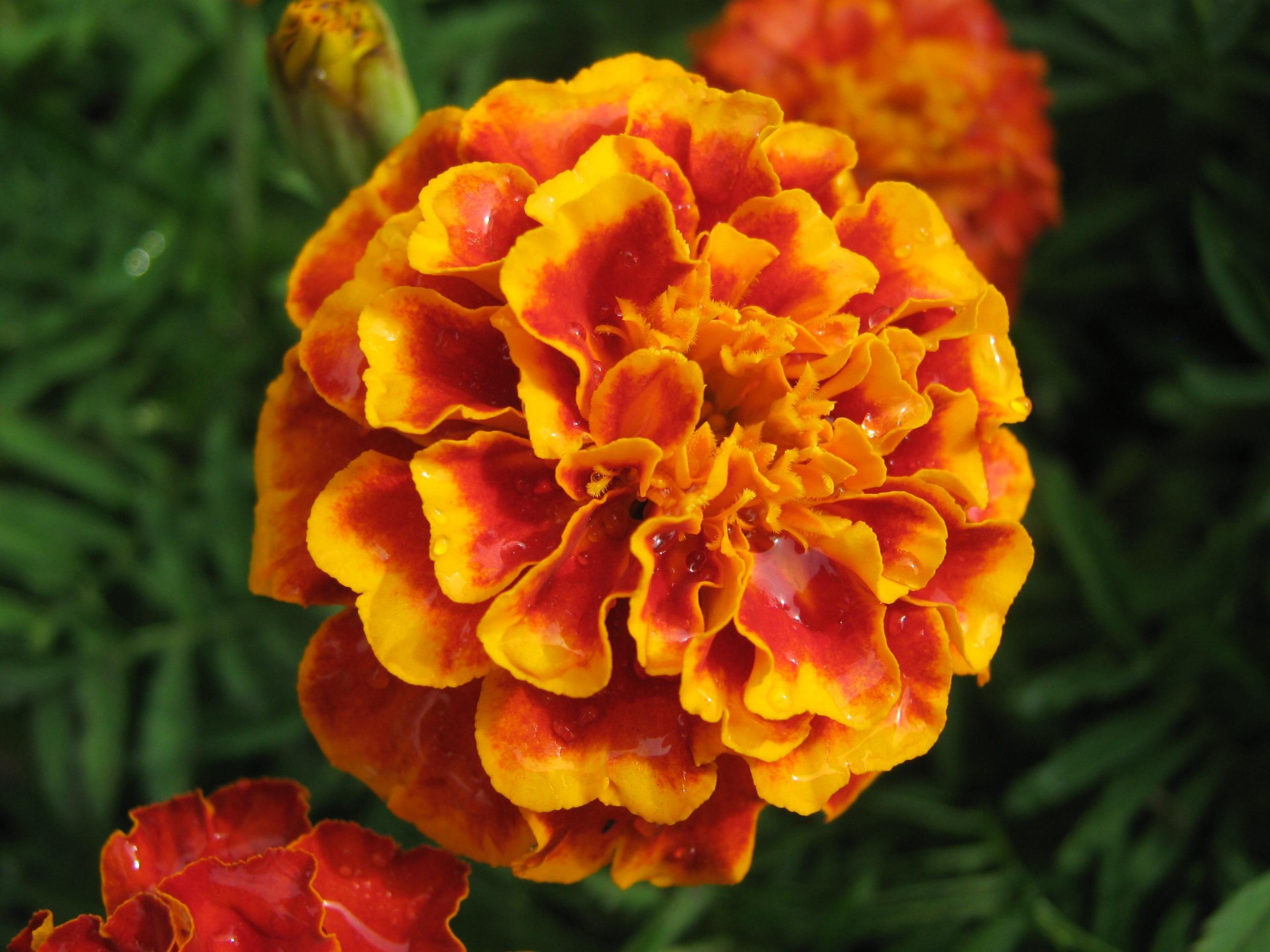 French Marigold Bolero Mix Ta es patula Plants Pinterest