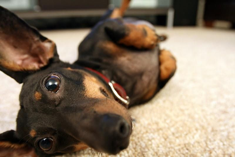 Rub my belly. My dachshunds assure me that rubbing their yummy will bring me good luck!