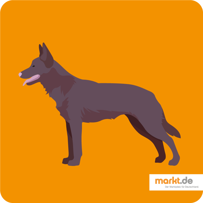 Australien Kelpie Aussehen, Charakter, Haltung Hunde