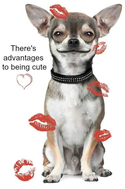 Chihuahuas There S Advantages To Being Cute Chihuahua Love
