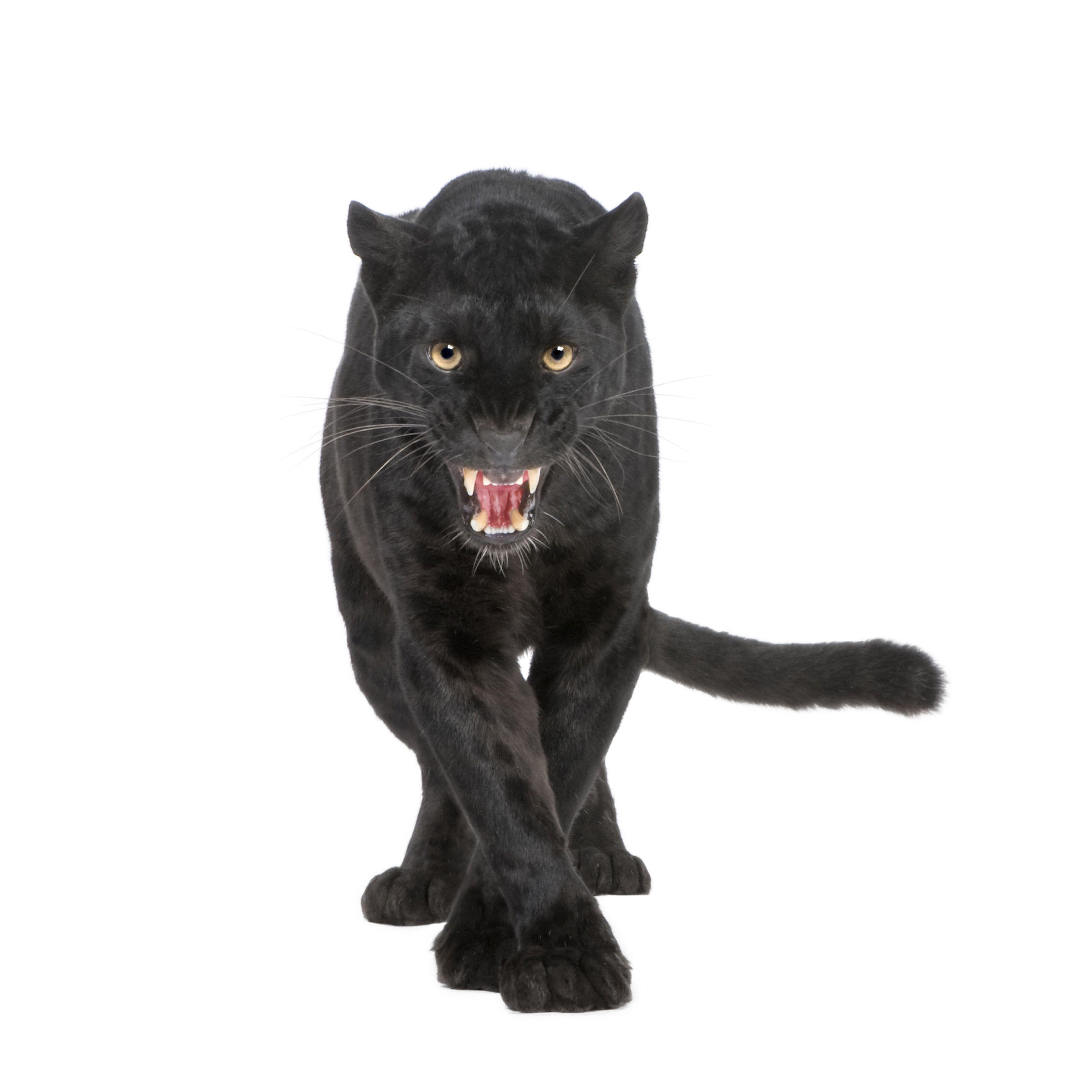 pantera negra dibujo   google search cats pinterest