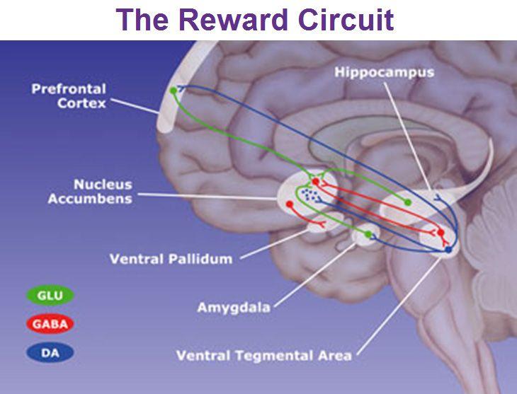 Nucleus accumbens dopamine reward circuit college files nucleus accumbens dopamine reward circuit ccuart Images