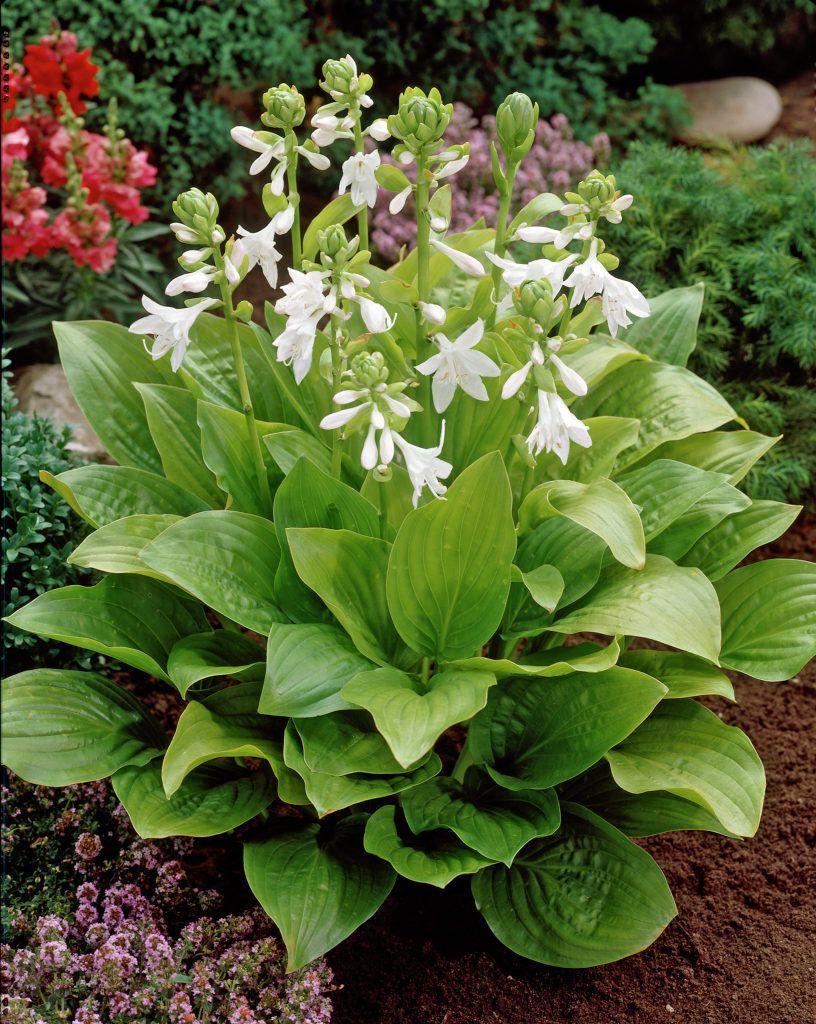 Funkie Royal Standard Hosta Pflanzen Pflanzen Blattpflanzen