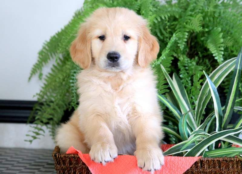 Parker Keystone Puppies Puppies For Sale Health Guaranteed Golden Pup Keystonepuppies Golden Retriever Puppies Puppies Dogs Puppies Puppies F