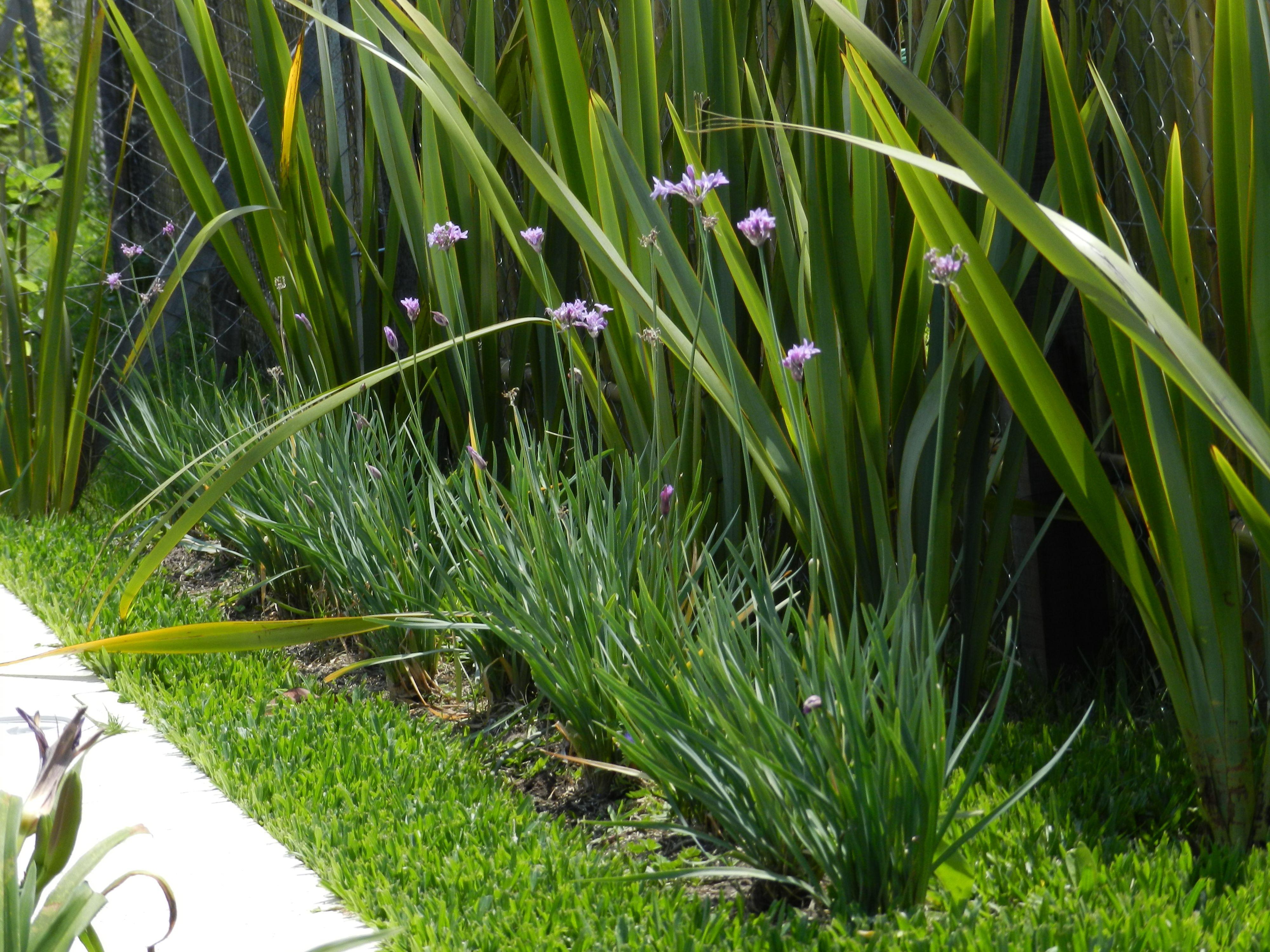 Tulbalgias delante de phormium tenax jardin y pergola - Arbustos enanos para jardin ...